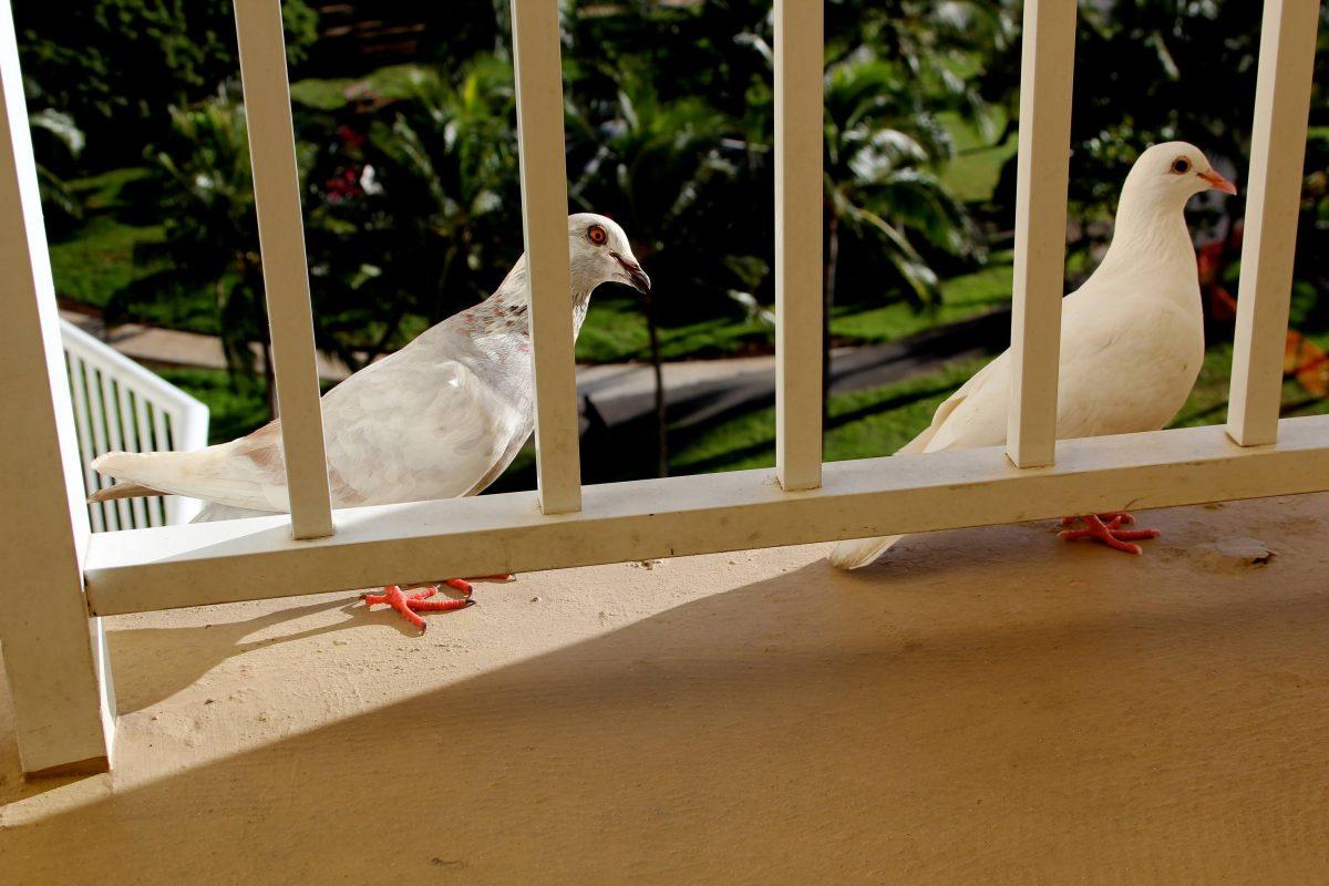 duiven verjagen van het balkon tips trucs wiki wonen. Black Bedroom Furniture Sets. Home Design Ideas