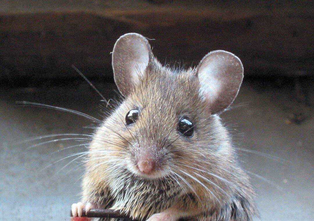 muizen in huis. hoe verjagen, vangen en voorkomen? | wiki wonen, Gartenarbeit ideen