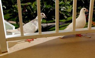 Duiven verjagen van het balkon – Tips & Trucs