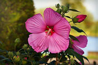 Winterharde planten Hibiscus