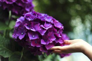 winterharde planten - Hortensia