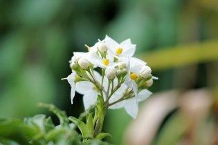Winterharde planten - Jasmijn