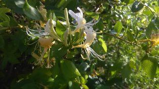 Winterharde planten - Kamperfoelie