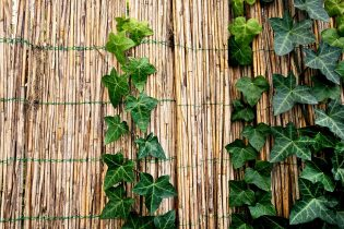Winterharde planten Klimop