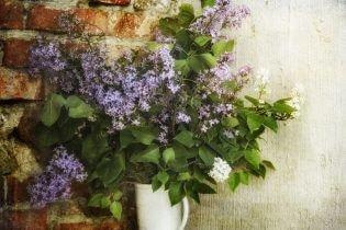 Winterharde planten Sering