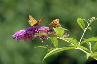 Winterharde planten Vlinderstruik