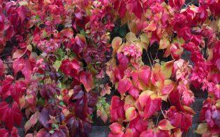 winterharde planten Wilde wingerd
